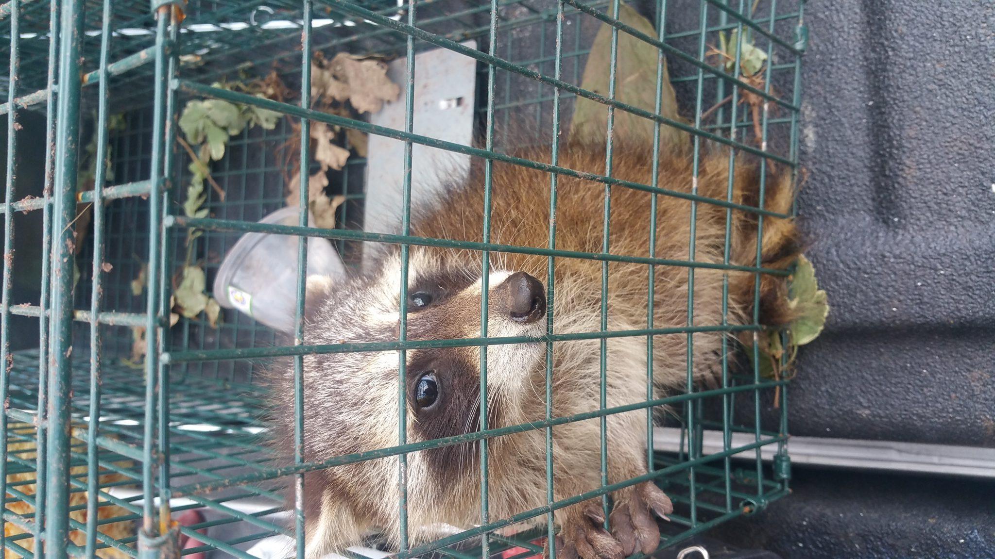 raccoon removal ashburn va