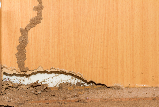 Termites on old wood background for decorate.